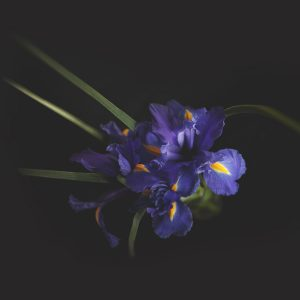 Purple Irises with Foliage Acrylic Mounted Print – Limited Edition